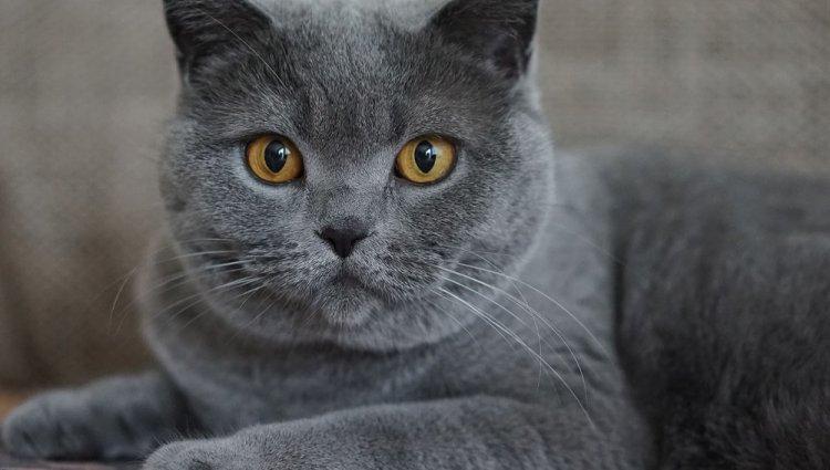 Порода кішок Шартрез