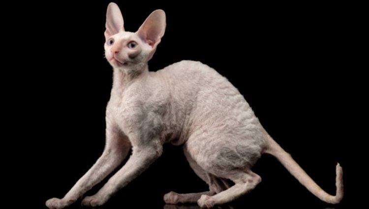 Корніш-рекс гіпоалергенна порода котів