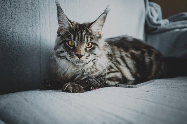 Риси характеру та поради догляду породи котів Мейн-Кун