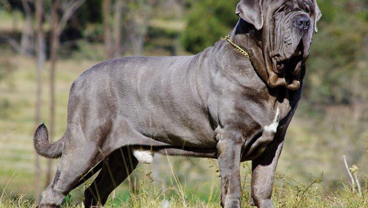 Порода собак Неаполітанський мастиф