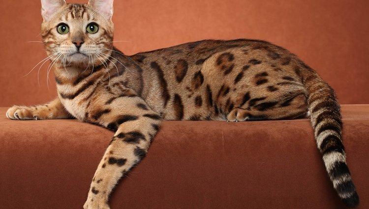 Вот это кот, Оцикет! Характеристика породы