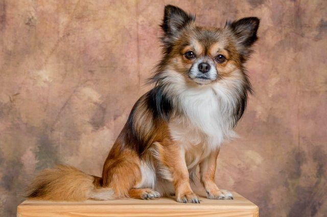 Папільйон: Профіль породи собак
