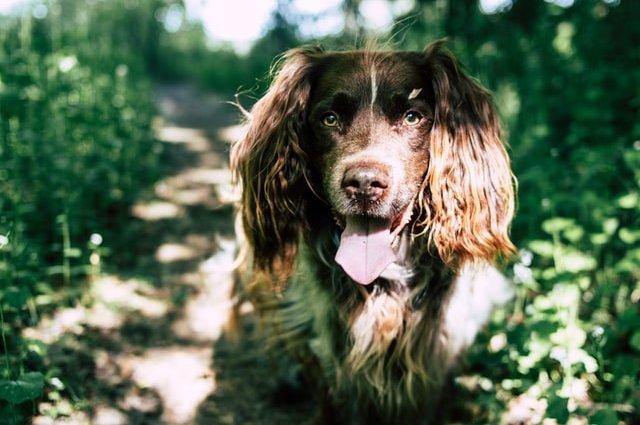 Порода собак Російський мисливський спанієль