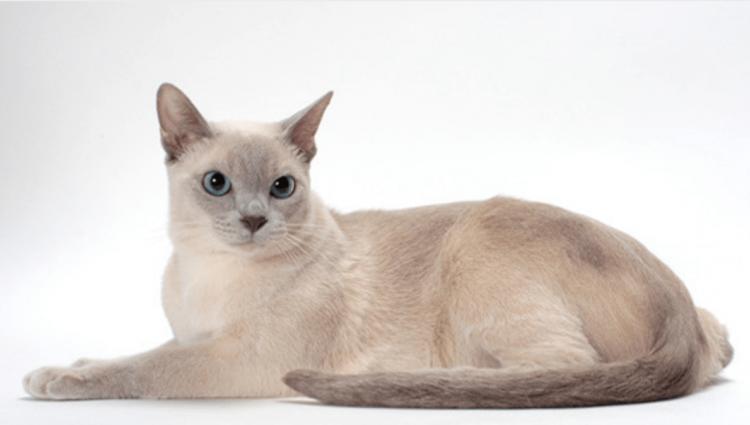 Порода Тонкінез. Тонкинская кішка