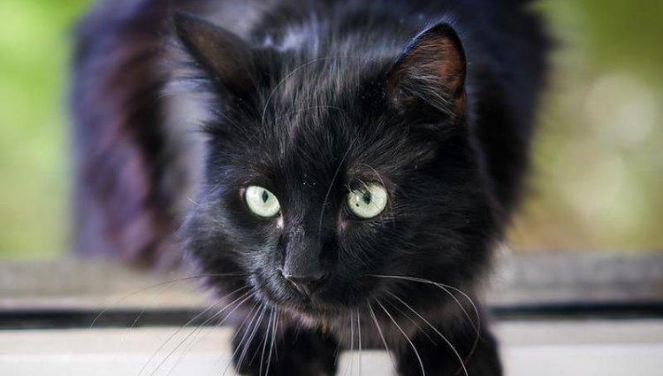 Порода Йоркська шоколадна кішка