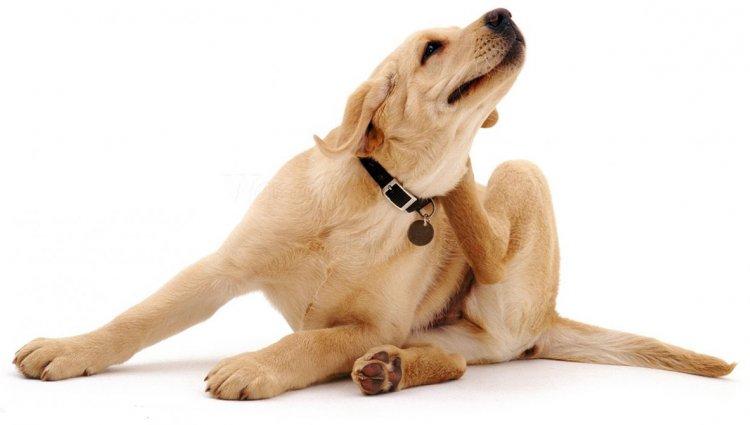 Блохи у пса