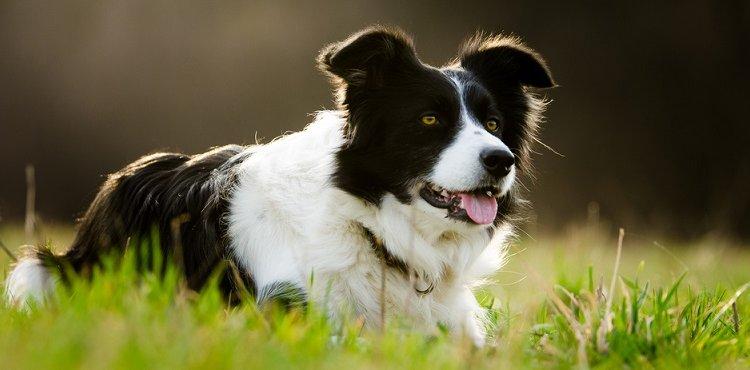 Собаки Бордер-коллі