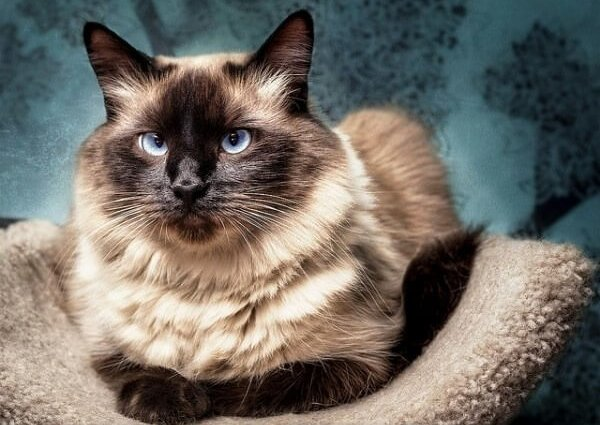 Порода Балинезийская кошка (Балинез)