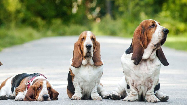 Порода собак Басет-гаунд