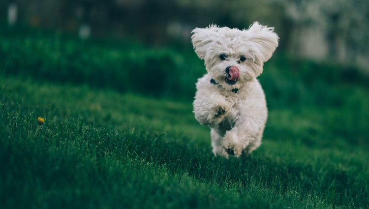 Бішон Фрізе: інформація про породу собак