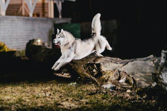 Всё о породе собак Аляскинский Маламут