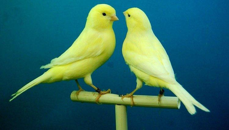 Канарейки - певчие птички, и они тоже могут болеть