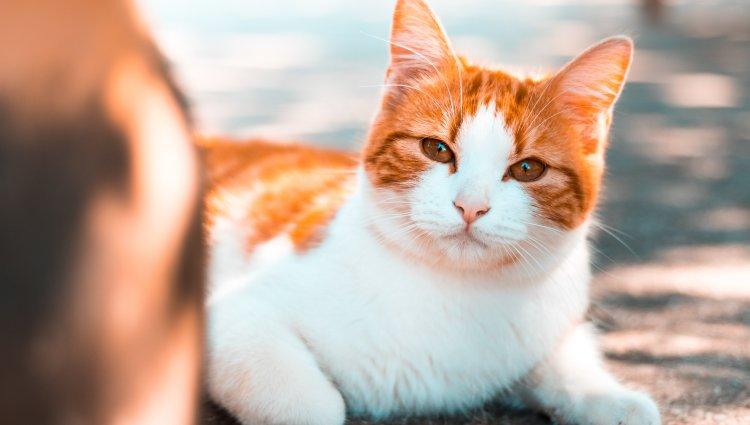 Як лікувати цистит у кішки