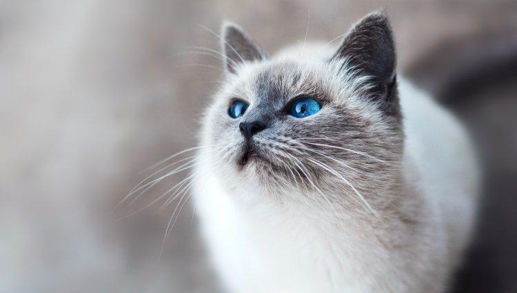 Гіпоалергені коти