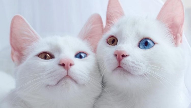 Аристократические коты Као Мани