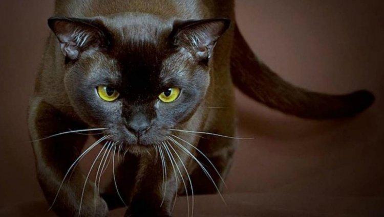 Бурманська кішка (Бурма)