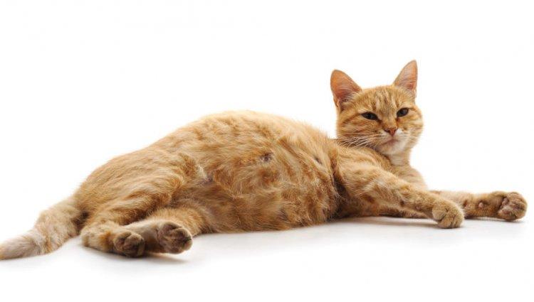 Мастит у кішки