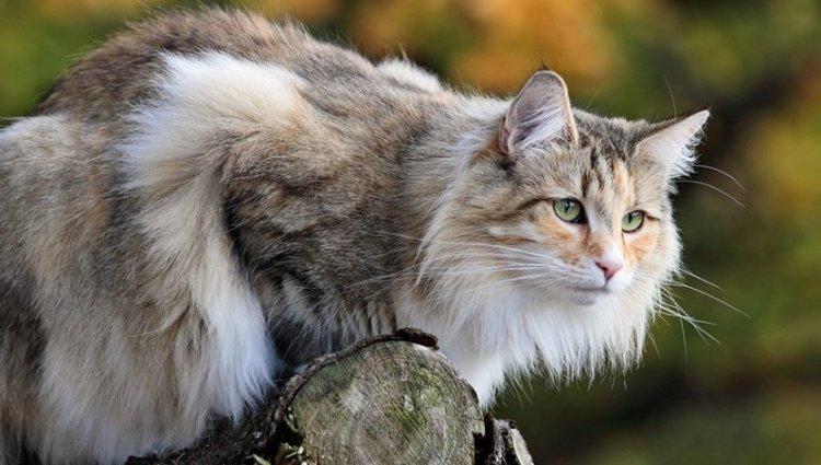 Порода Норвезька лісова кішка