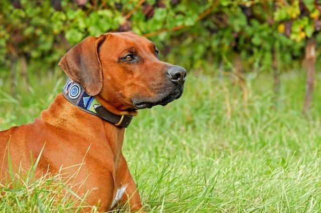 Порода собак Родезійський риджбек