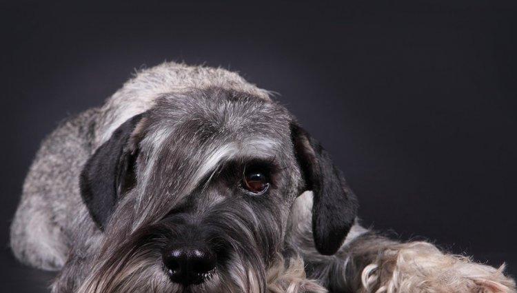 Порода собак Мітельшнауцер