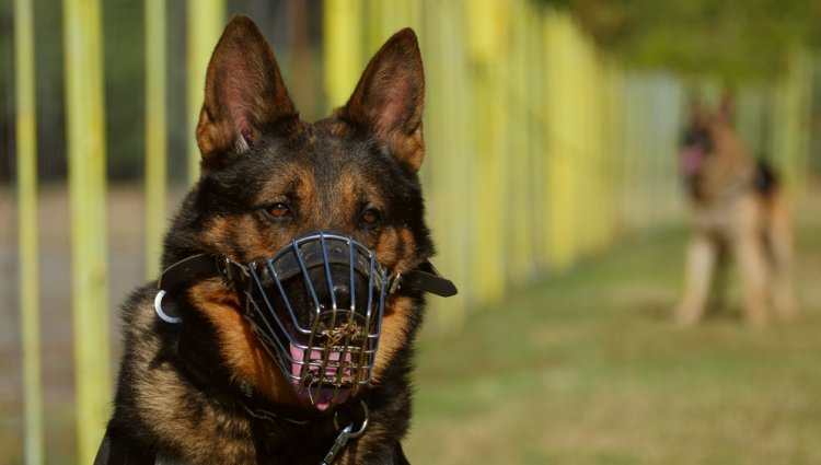 Приучаем собаку к ошейнику, поводку и наморднику
