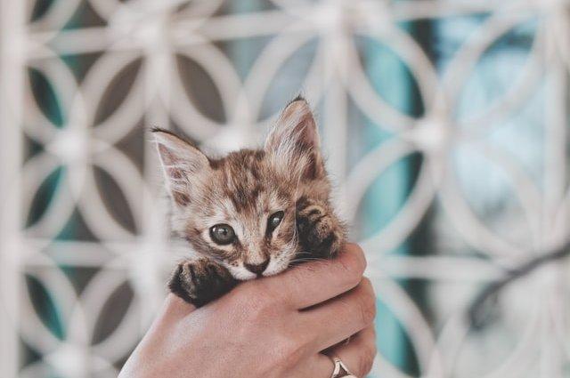 Уход за котенком породы Мейн-Кун