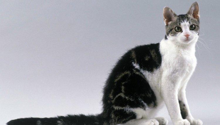 Американська жорсткошерсна кішка