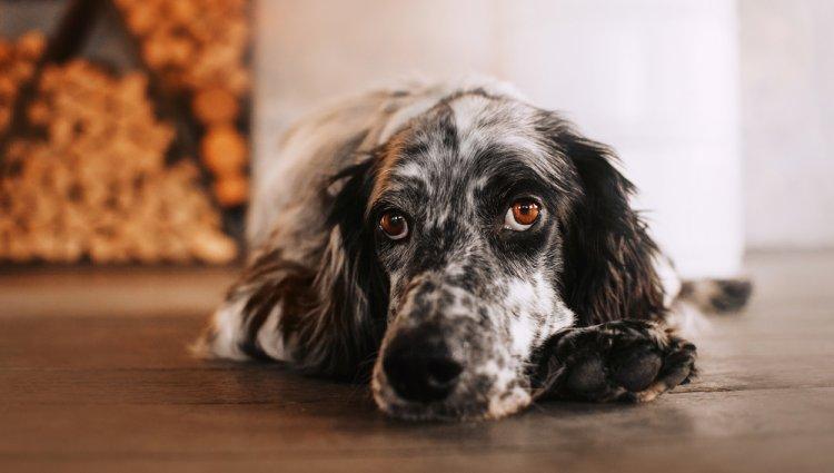 Запор собаки
