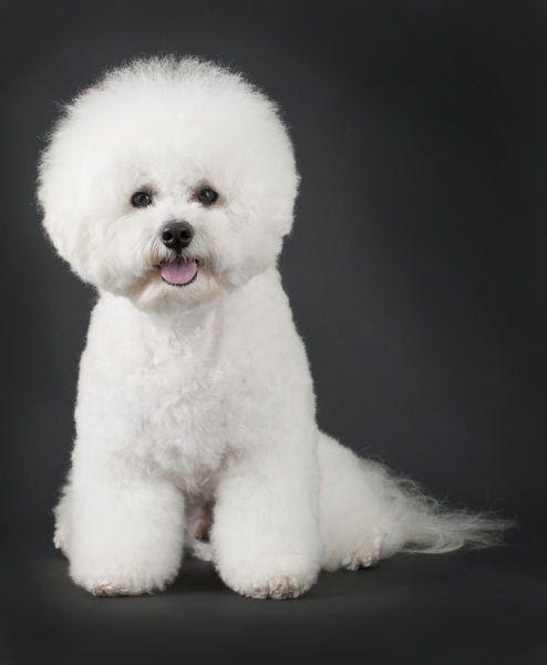 Собака породы бишон фризе